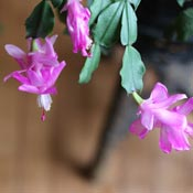 Christmas cactus with pink flowers.