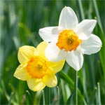 White and yellow daffodils.