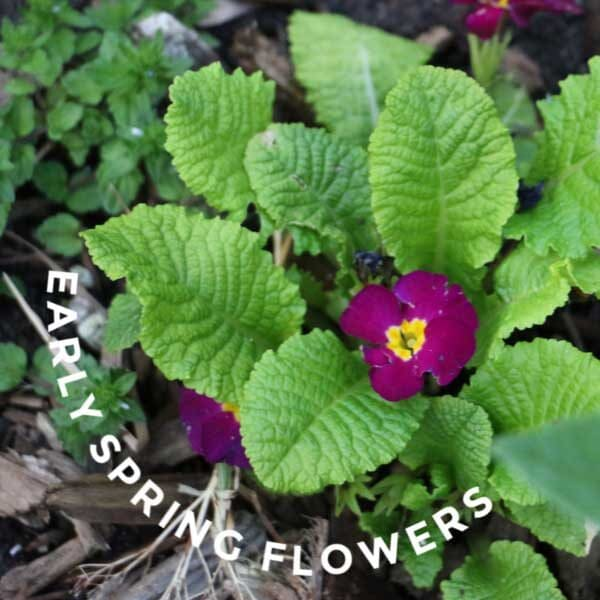 10 Plants For Delightful Early Spring Flowers Empress Of Dirt