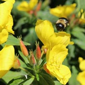 Evening primrose yellow flowers and bee.