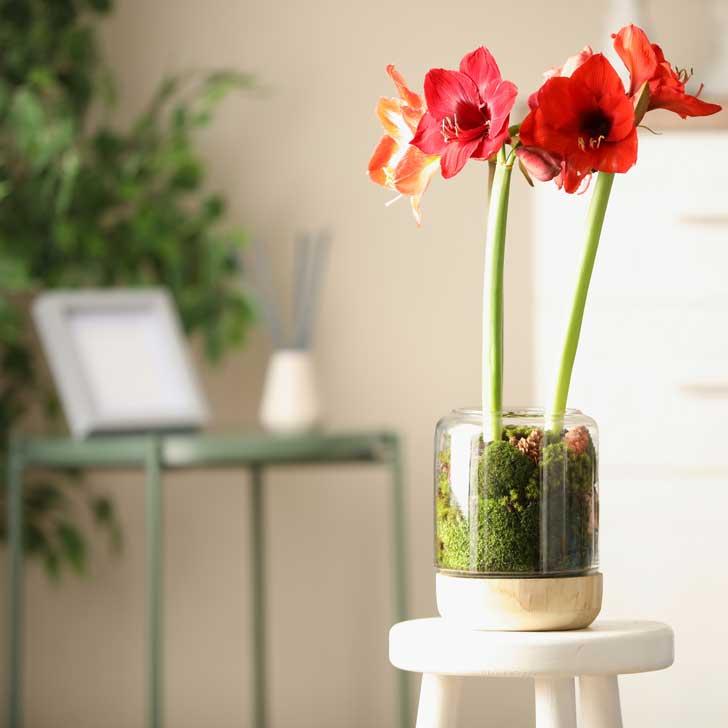 Red amaryllis flower growing indoors.