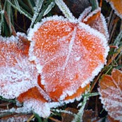 Frosty orange fall leaves on grass lawn.