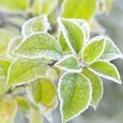Frosty green garden leaves.