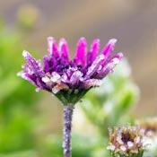 Frosty purple flower in garden.