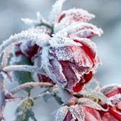 Frosty red roses in garden.
