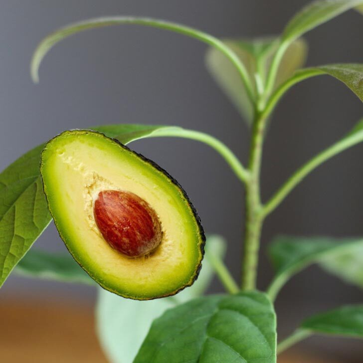 Small avocado houseplant in a clay pot on a table.
