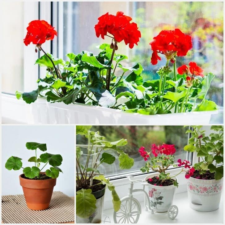 Red geranium (Pelargonium) flowers indoors.