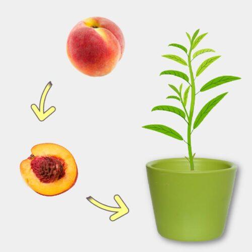A peach, peach pit, and small peach tree in a pot.