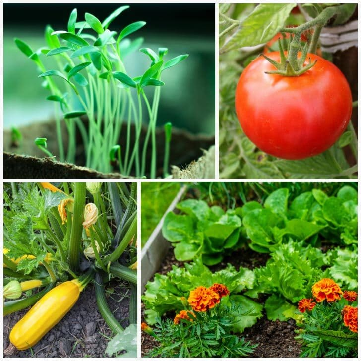 Vegetables growing in the garden including tomato and zucchini.