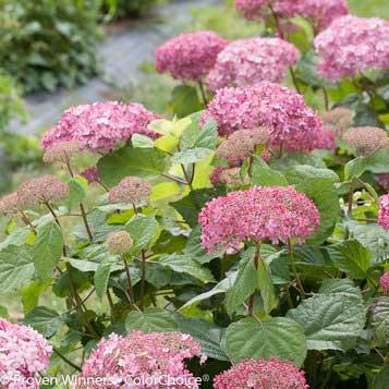 Smooth Hydrangea – Hydrangea arborescens