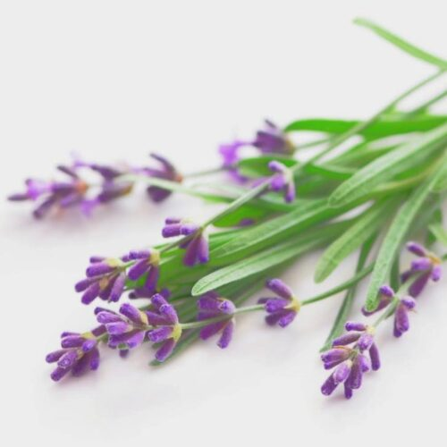 A sprig of purple lavender flowers with green leafy stems.