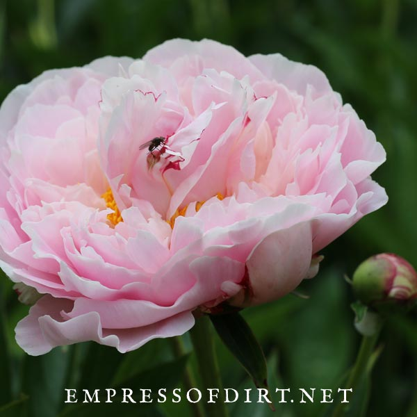Fluffy light pink peony with fly sitting on petals.