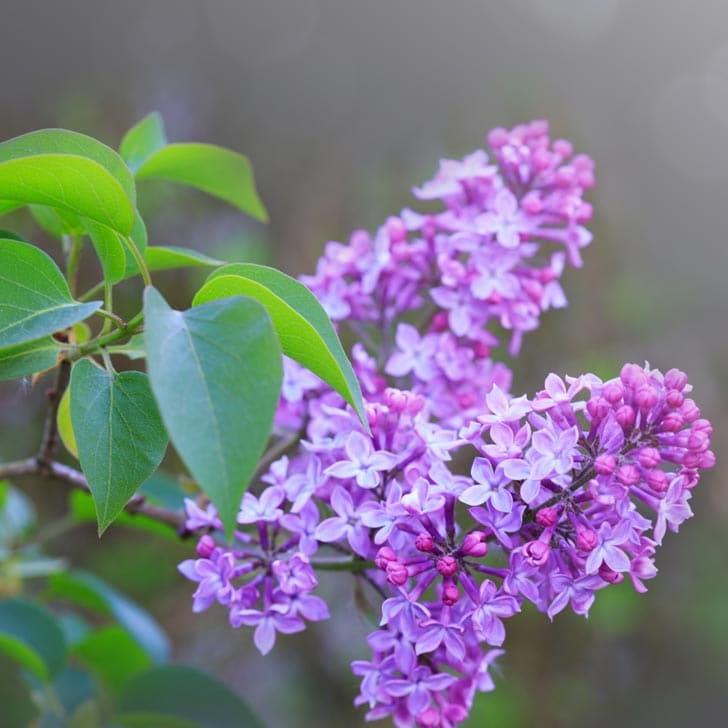 Purple lilac shrub blooming in the garden.
