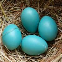 Robin nest with four blue eggs.