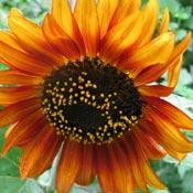 Orange sunflower in garden.