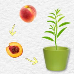 Peach, peach pit, and young peach tree seedling in a pot.