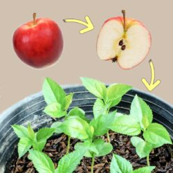 Apple seed for germination