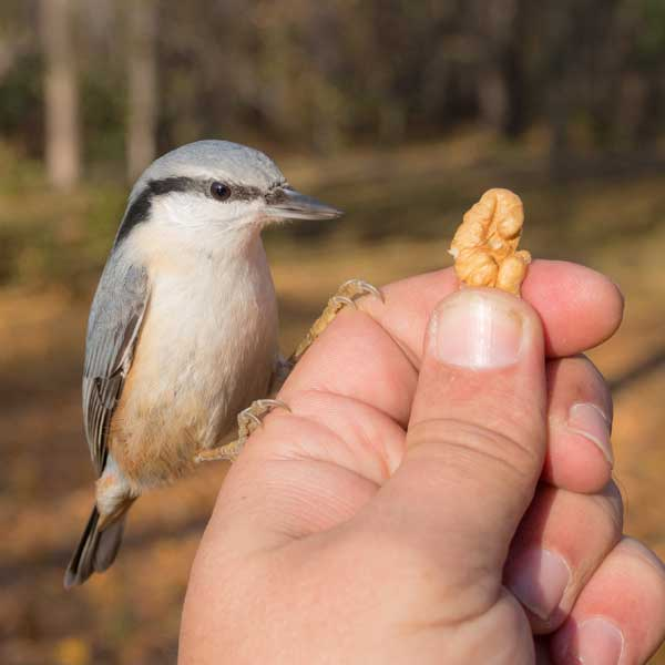 Bird perched on human hand offering walnut.
