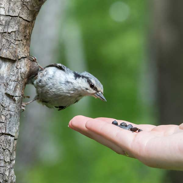 Nuthatch on tree by human hand with bird seed.