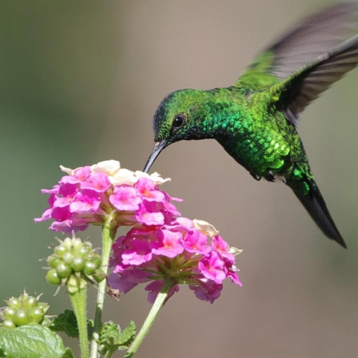 Hummingbird hovering over pink flower to collect nectar.