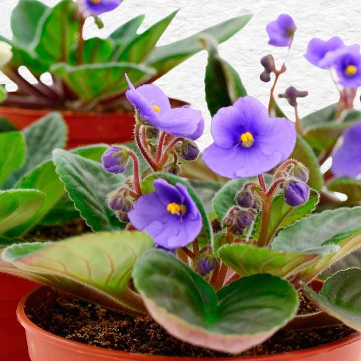 Purple African violet flowers coming into bloom.
