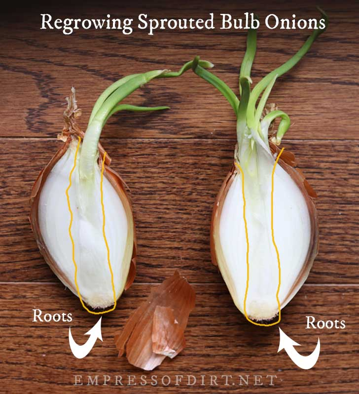 Cross-section of a sprouting onion bulb.