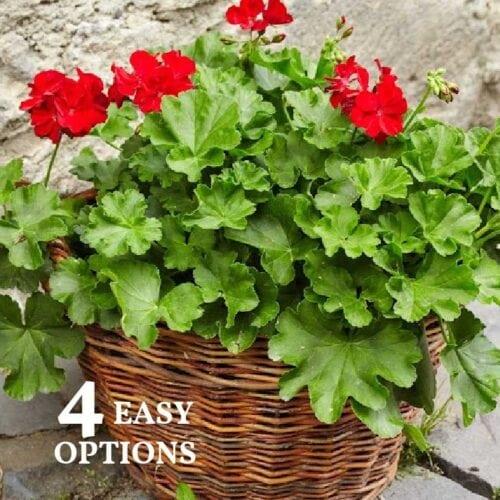Red geraniums in a wicker basket.