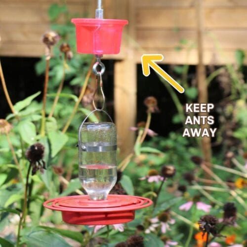 Hummingbird feeder with an water moat hanging above it to keep ants from climbing onto feeder.