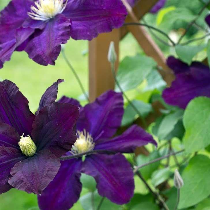 Purple clematis growing on trellis.