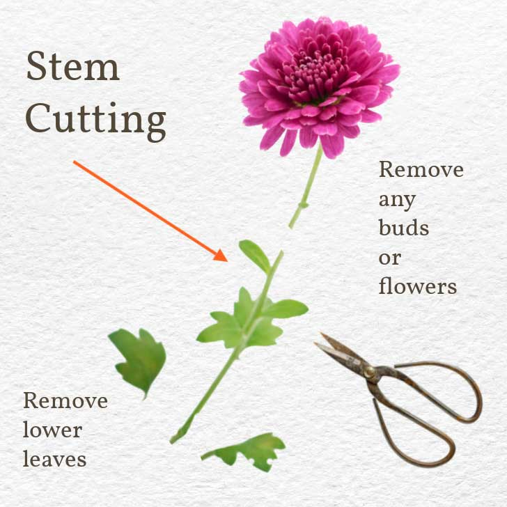 Mum diagram showing leaves and flowers should be removed before rooting cutting.
