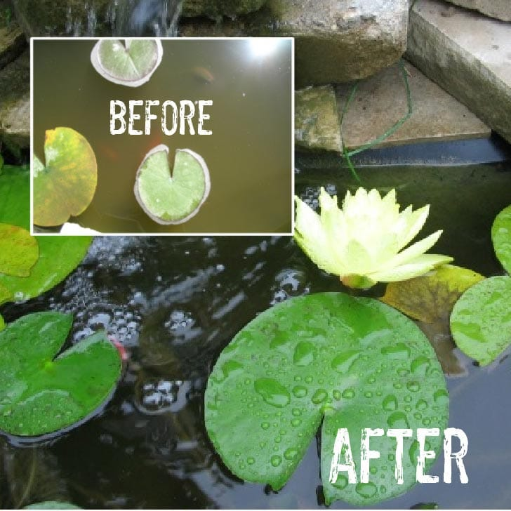 Pond water before and after using the Empress of Dirt batting method to clear murky water.