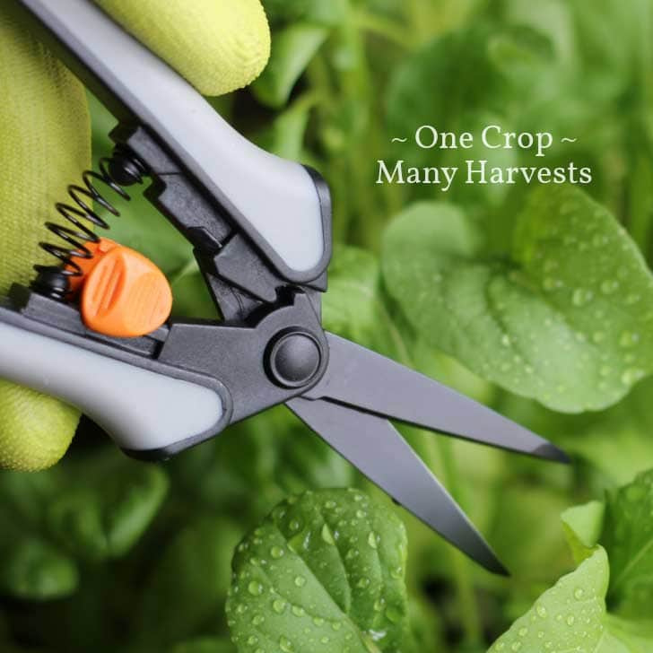 Gloved hand cutting salad greens with fine snippers.