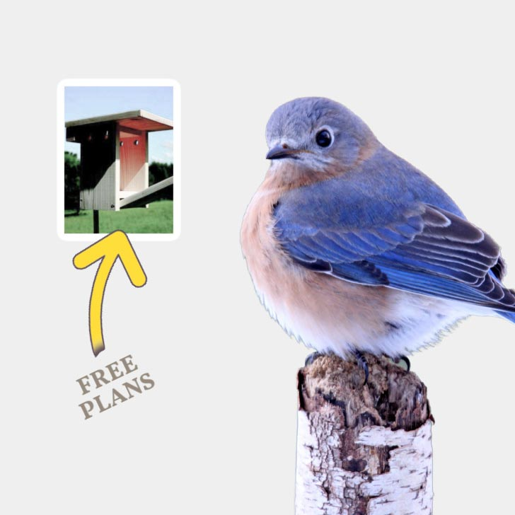 Bluebird and a bluebird nesting box.