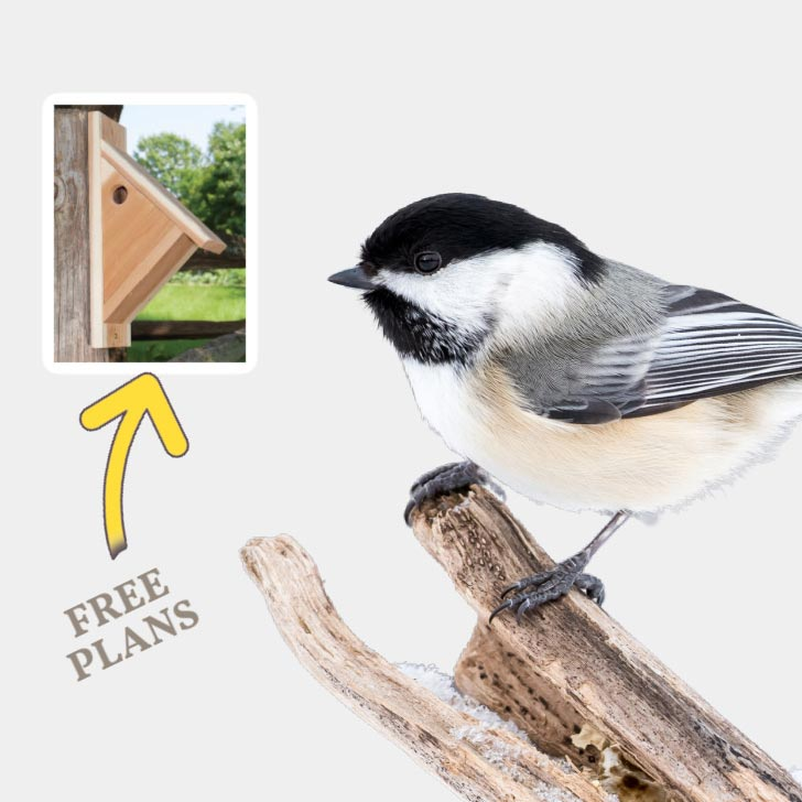 Chickadee and a chickadee nesting box.