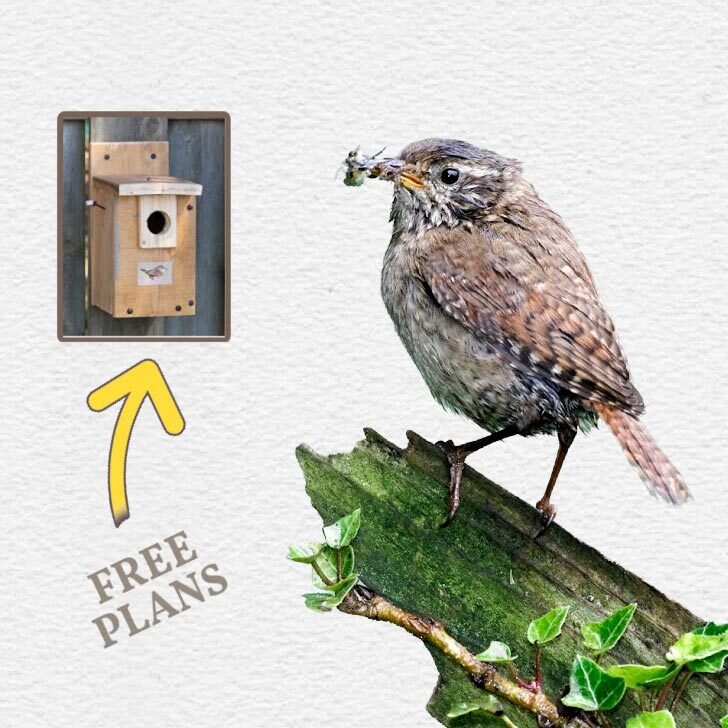 Wren bird and a wren nesting box.