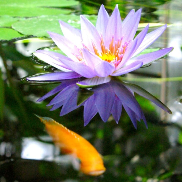 Water lily and fish in a clear pond.