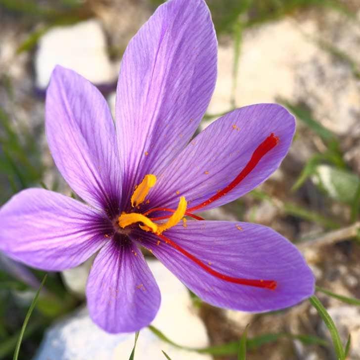 Saffron crocus flower.