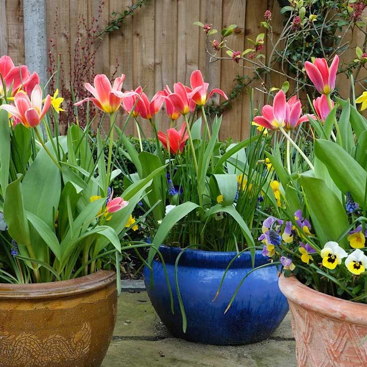 Flower bulbs growing in containers on patio.