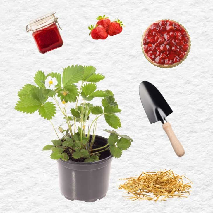 Strawberry plant in a pot, straw, trowel, berries, jam, and pie.