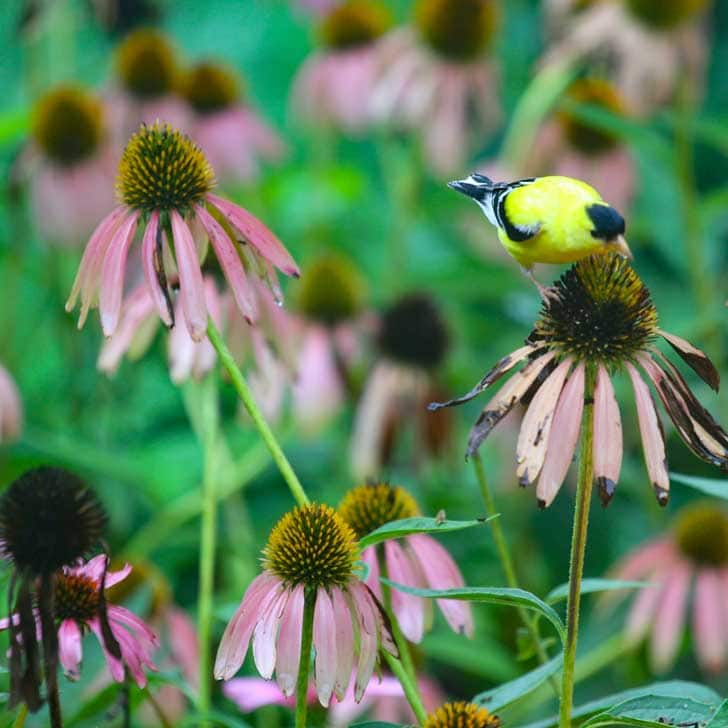 Goldfinch eating echinacea seeds.
