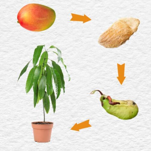 Mango fruit, seed, and plant in a pot.