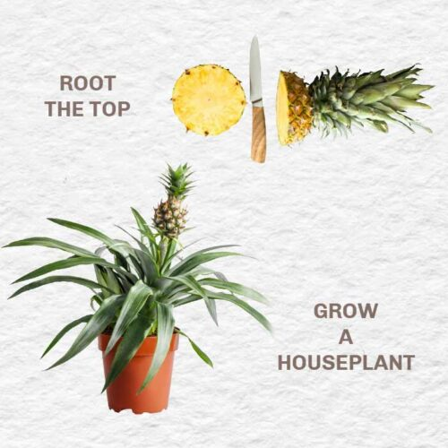 A pineapple top for propagation and a pineapple plant in a pot.