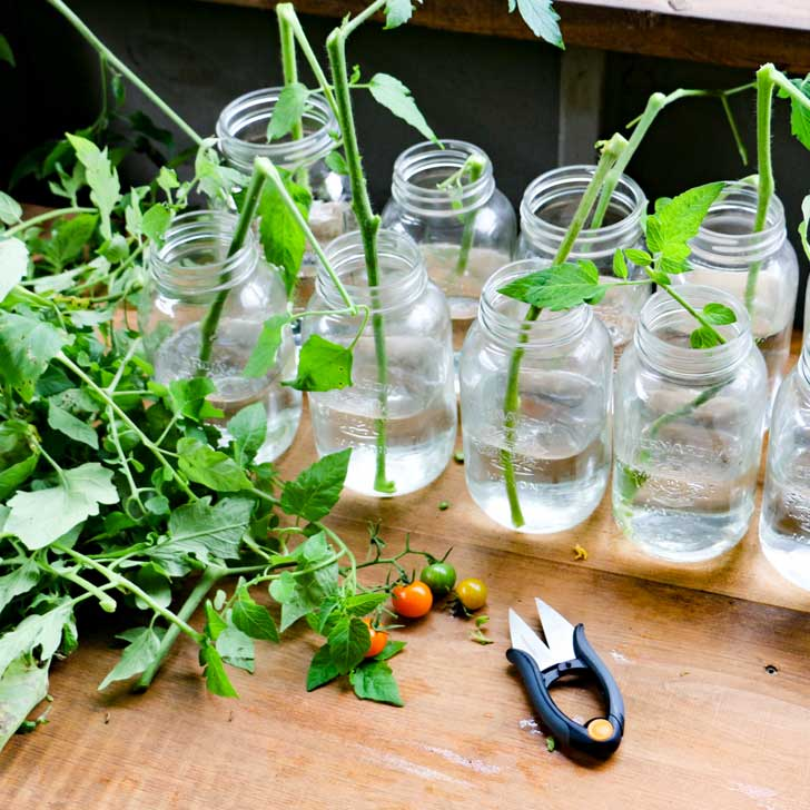 Tomato plant and snippers for growing new plants from cuttings