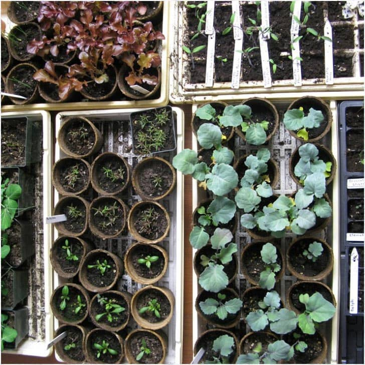 A variety of seedlings ready to be hardened off before transplanting outdoors.
