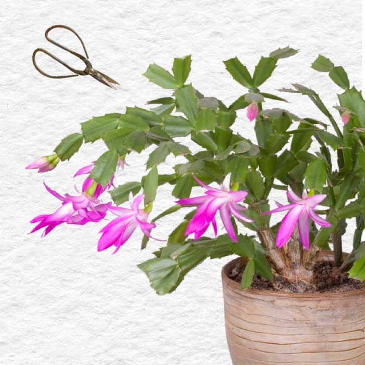Pink Christmas cactus plant in bloom and garden scissors.