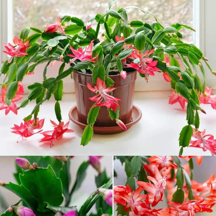 Flowering Christmas, Thanksgiving, and Easter cactus plants.