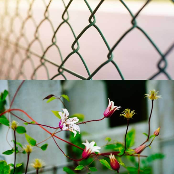 Ugly chainlink fence and fence with clematis flowers.
