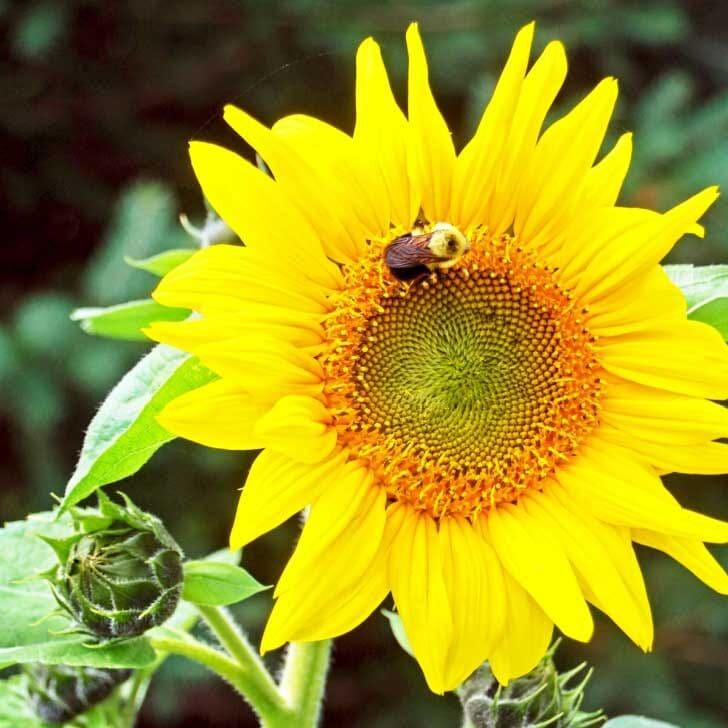 Big yellow sunflower with bee.