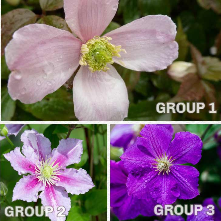 Three clematis flowers: one from each pruning group.