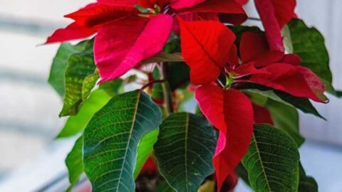 Red poinsettia in bloom on a windowsill.